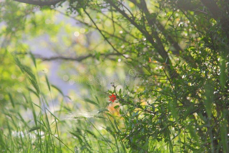 Granaatappelbloem op de weelderige groene achtergrond stock fotografie