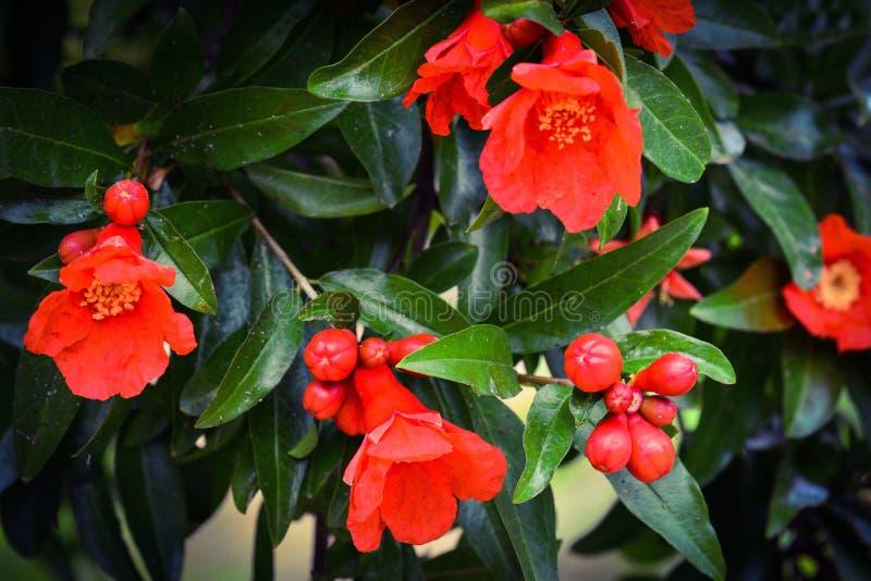 Granaatappelbloem in tuin stock afbeelding