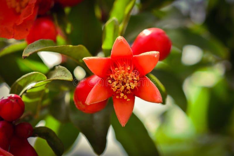 Granaatappelbloem in tuin royalty-vrije stock foto's