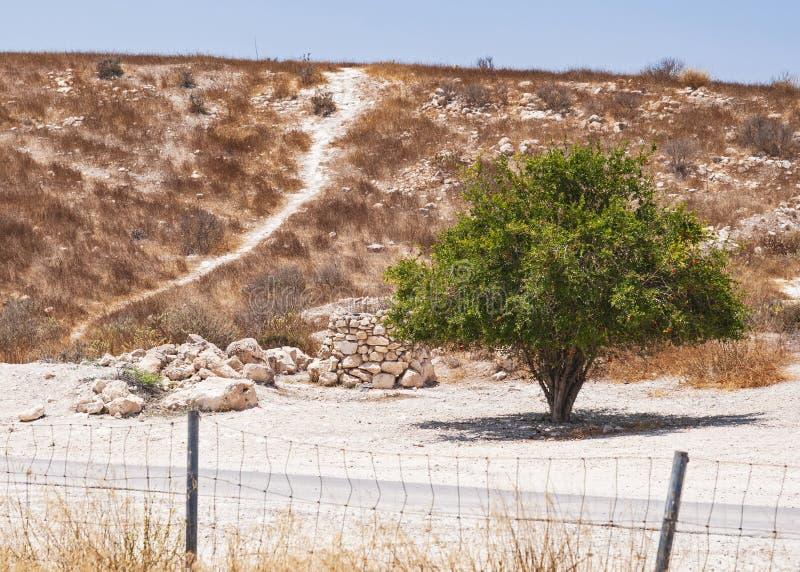 Granaatappelboom met Fruit in noordelijke Negev stock afbeeldingen