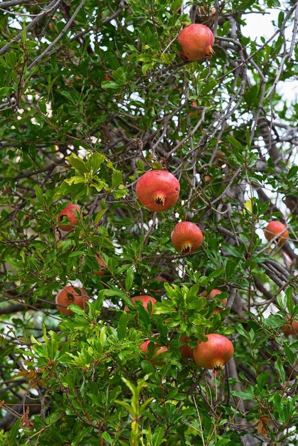 Granaatappelboom met vruchten royalty-vrije stock fotografie
