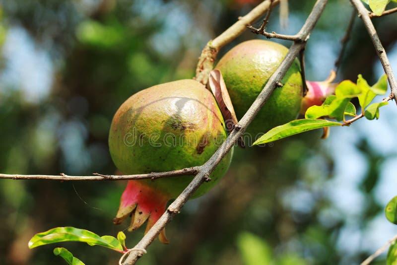 Granaatappelfruit en flowerplant dichte omhooggaande mening stock foto