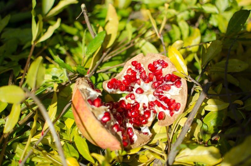 Granaatappels, kleurrijk fruit van het seizoen, rijk aan vitaminen en middel tegen oxidatie; ideaal voor een keukenrijken in menu royalty-vrije stock afbeeldingen