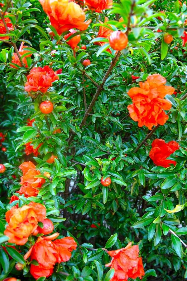 Granada del arbusto floreciente imagenes de archivo
