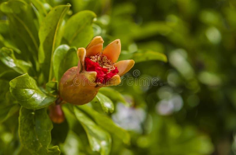 Granada en flor en botanica fotografía de archivo