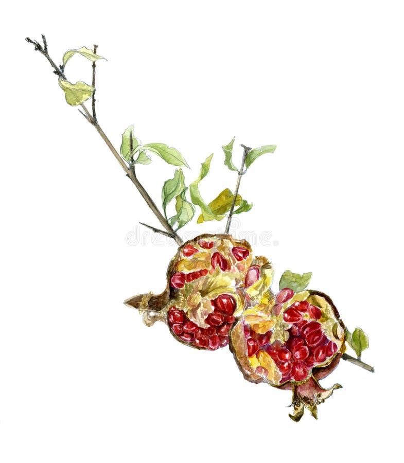 Granada en un fondo blanco Bosquejo de la acuarela Una rama de la granada con la fruta quebrada stock de ilustración