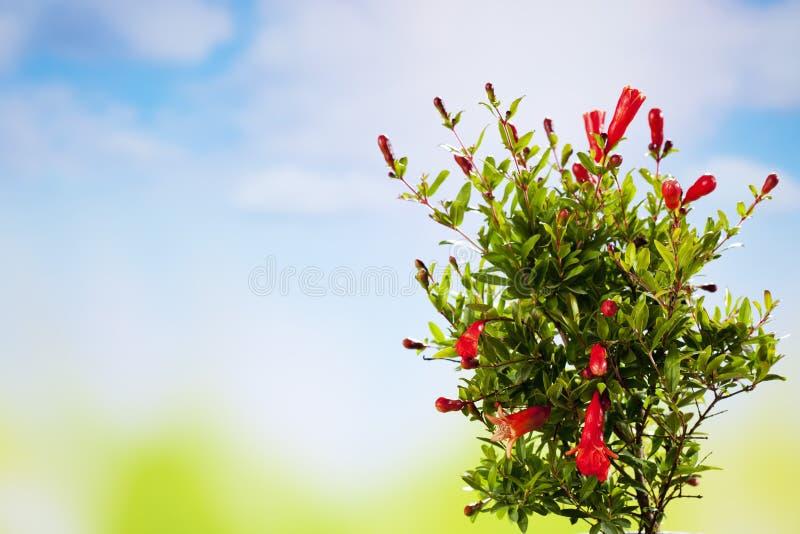 Granada, flor de la granada imagen de archivo