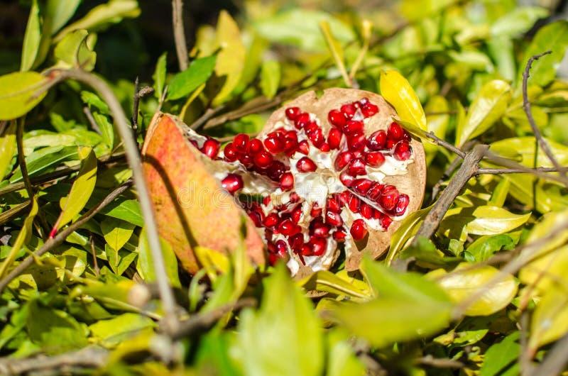 Granadas, fruta de la estación, ricas coloridos en vitaminas y antioxidante; ideal para los ricos de una cocina en menús y feliz  fotos de archivo libres de regalías