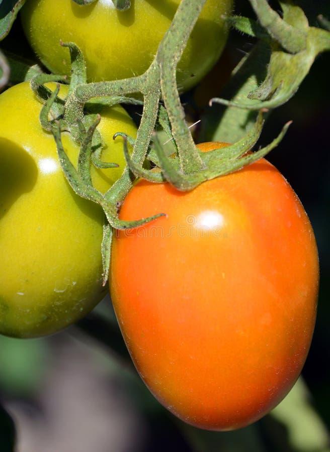 Granadero F1 is an intermediate plum tomato stock image