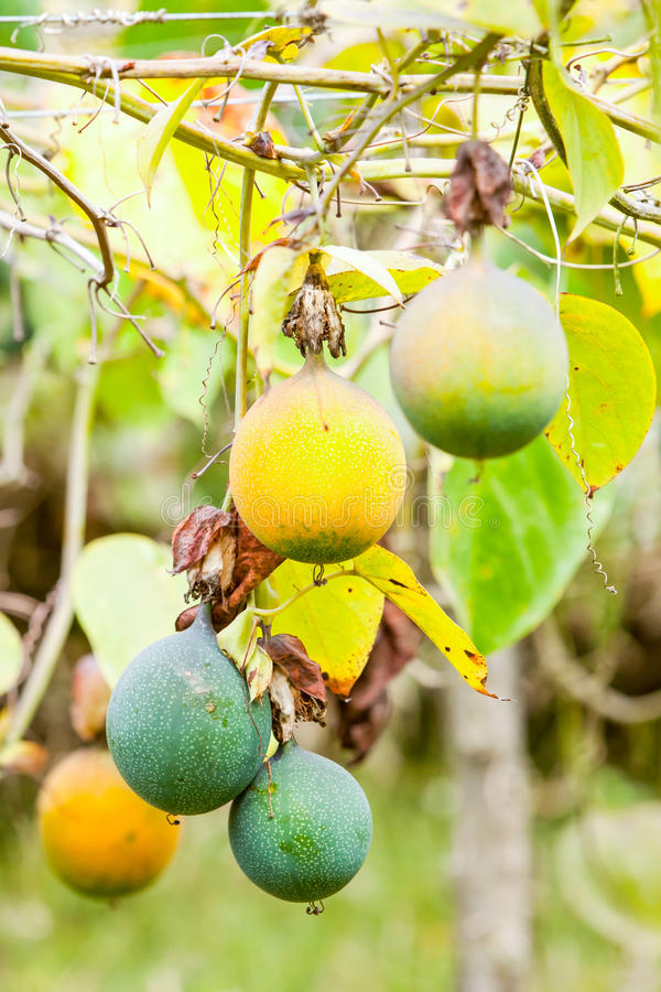 Granadilla Or Passion Fruit royalty free stock photos