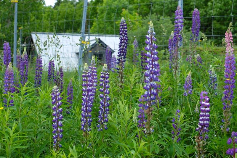 Granaio abbandonato in Quebec con i fiori immagini stock
