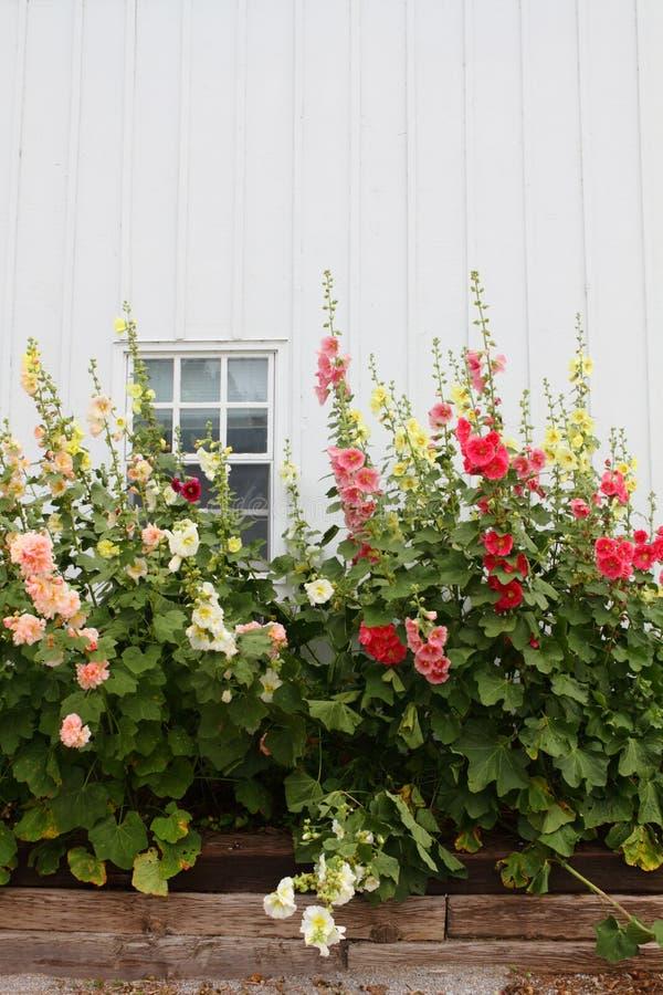 Granaio e fiori bianchi fotografia stock