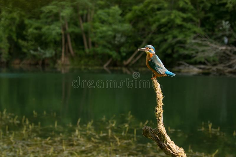 Granangular del martín pescador común que se sienta en un pescado que busca por encima de la superficie de la rama imagen de archivo libre de regalías