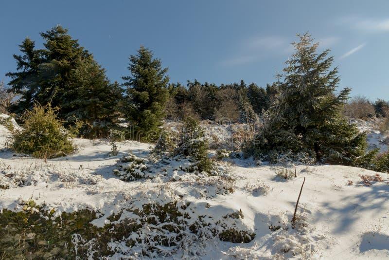 Granar i bergen på ett snöig, vinterdag royaltyfria bilder