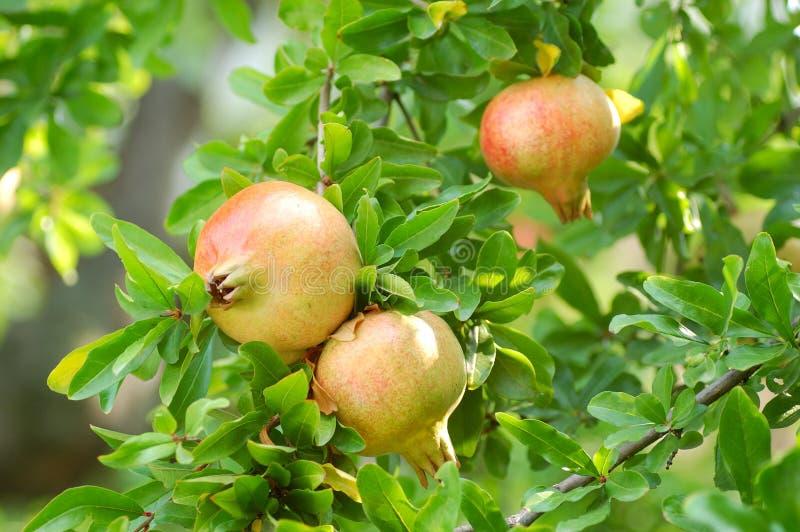 Granatäpfel auf dem Baum stockfotografie