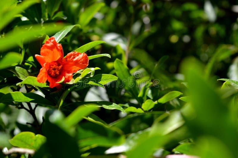 Granatäpple En blomma av en granatäpple arkivfoto