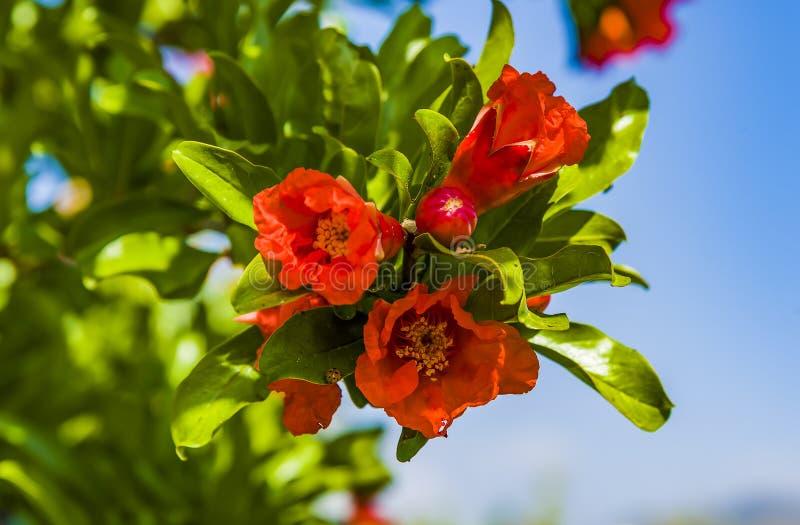 Granatäpple i blomning i botanica royaltyfri fotografi