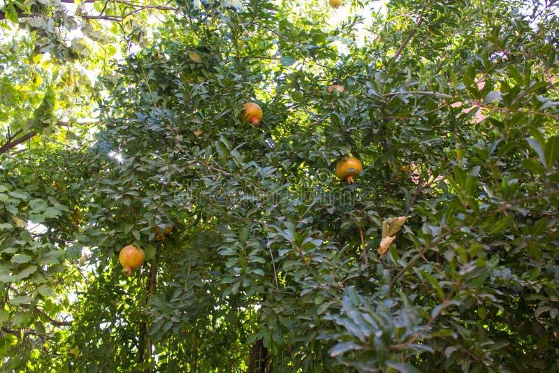 Granatäpple tree2 arkivfoto