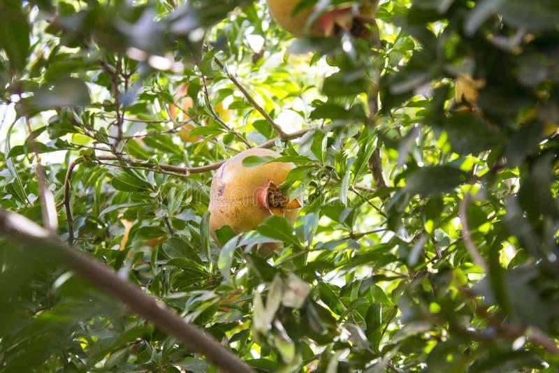 Granatäpple tree7 royaltyfri fotografi