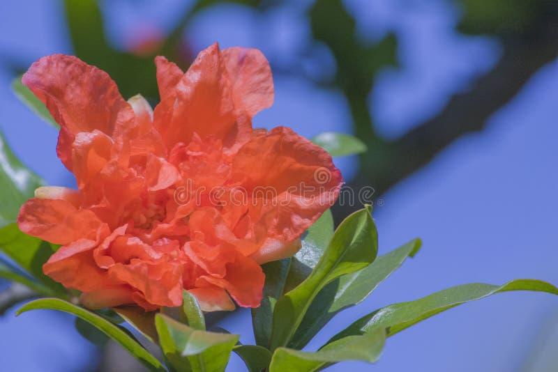 Granatäppleblommor blommar fullständigt röda granatäppleblommor royaltyfri foto