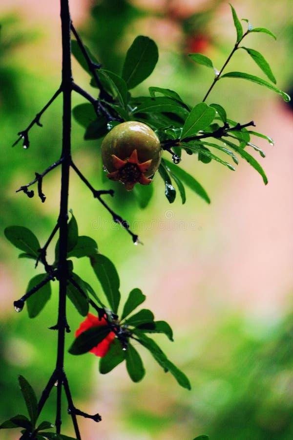 Granatäpplen i regnet fotografering för bildbyråer