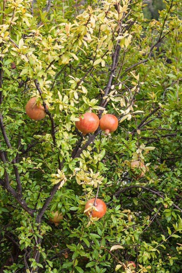 Granatäppleträd royaltyfria bilder