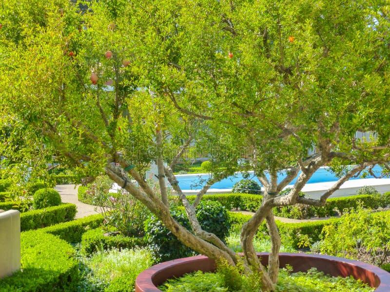Granatäppleträd arkivbilder
