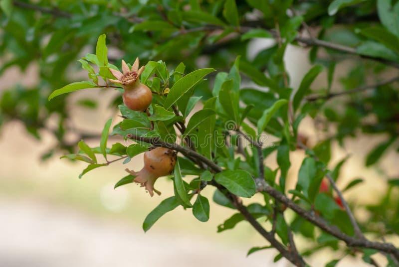 Granat?pple den unga frukten på en grön filial med sidor av granatäppleträdet på våren, royaltyfri foto