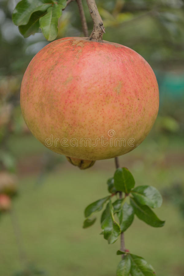 Granatapfel lizenzfreies stockfoto