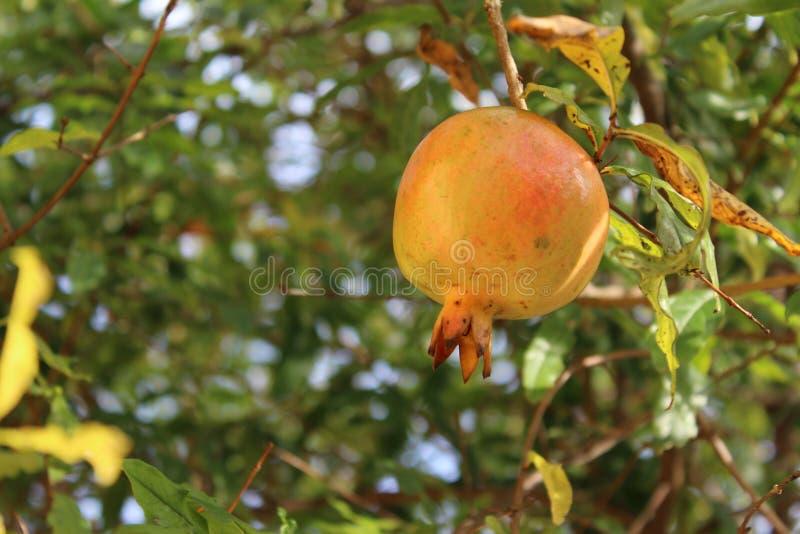Granatapfel stockfotografie