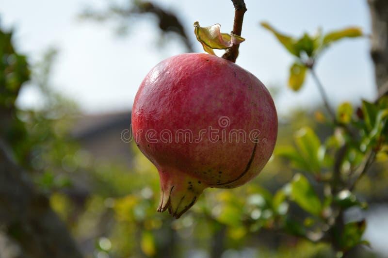 Granatapfel - Punica granatum stockfotos