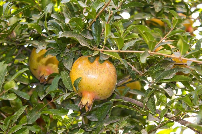 Granatapfel tree8 lizenzfreies stockfoto