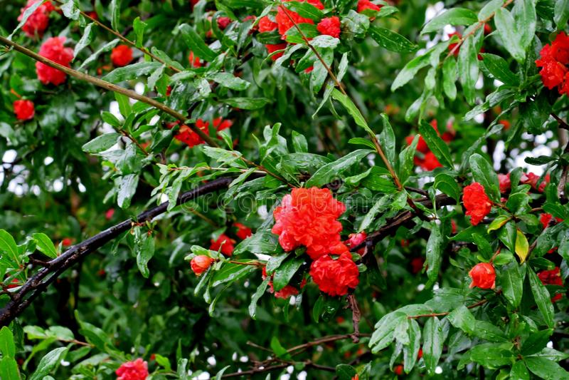 Granatapfelbaumblüte mit den roten und rosa Blumen lizenzfreies stockbild