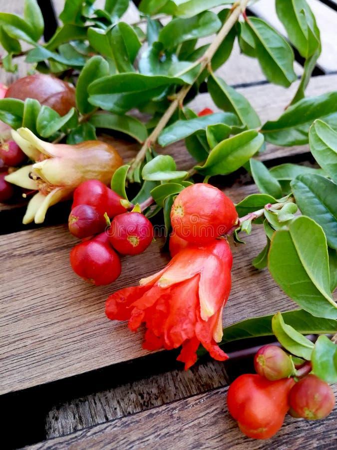 Granatapfelblüten, Blumen und unausgereifte Früchte stockbild