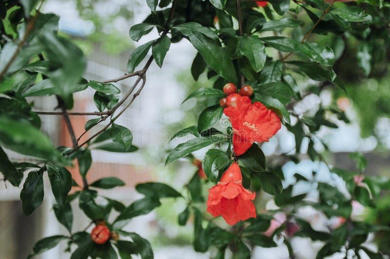 Granatapfelblumen im Juni lizenzfreie stockfotografie