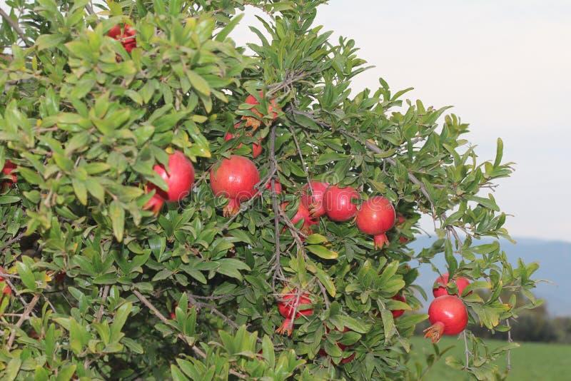 granatowa drzewo, gałąź, czerwoni granatowowie zdjęcie stock
