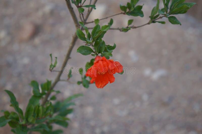 Granatowa kwiatu okwitnięcie zdjęcia royalty free