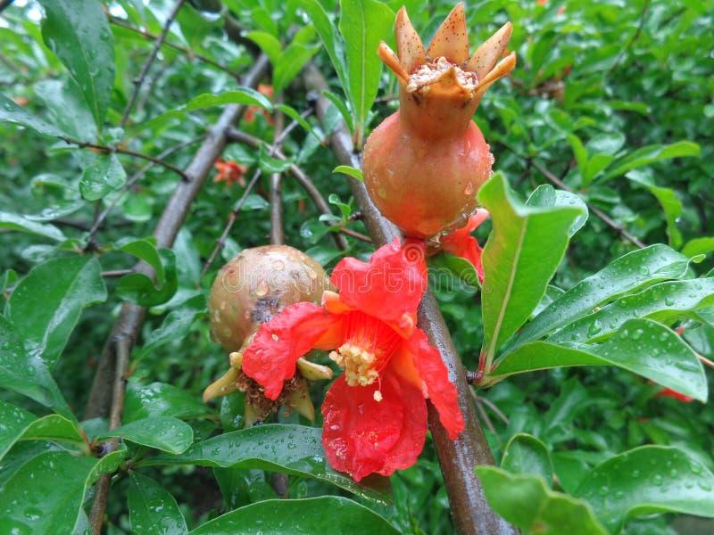 granatowiec owoc i kwiaty fotografia stock