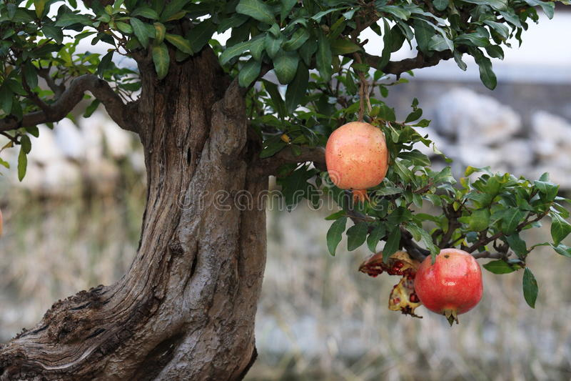 Granatowiec w drzewie zdjęcia royalty free