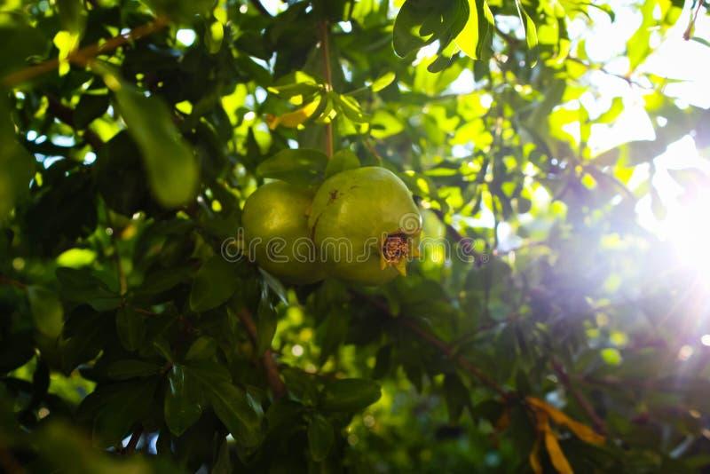 Granatowowie dojrzewają na drzewie zdjęcie royalty free