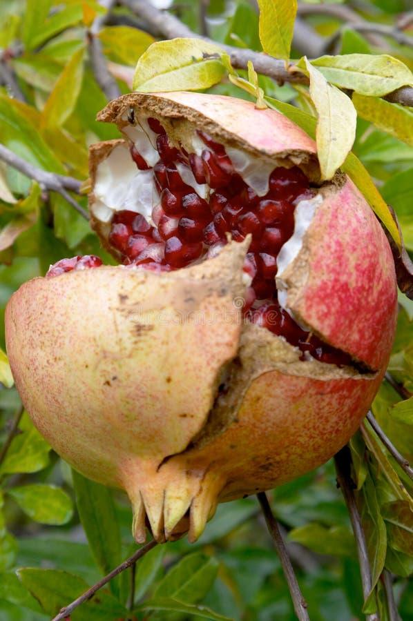 granatum granatowa punica owocowy zdjęcie royalty free