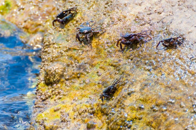Granchi del mare che si siedono sulla pietra gialla della roccia circondata dalle acque piene di vita marina subacquea vibrante,  fotografia stock