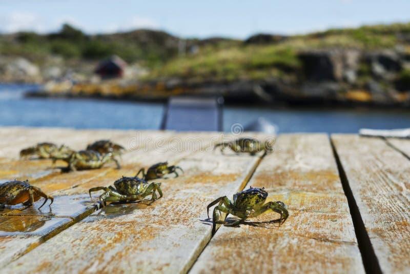 8 granchi dell'alga sul ponte immagini stock libere da diritti