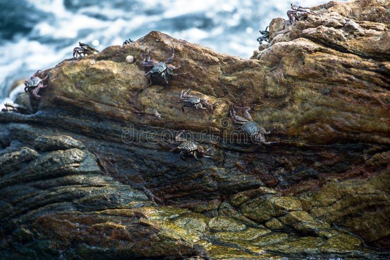 Granchi dello Sri Lanka dell'oceano fotografie stock