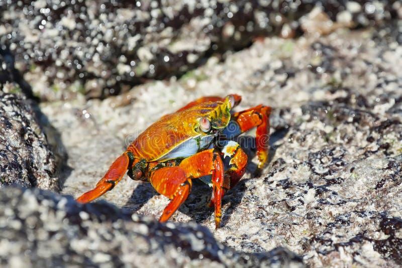 Granchi di roccia rossi di Galapagos fotografie stock libere da diritti
