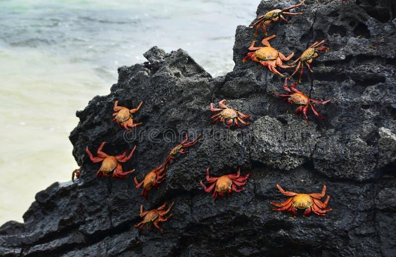 Granchi di roccia rossi su Lava Rock nero fotografie stock
