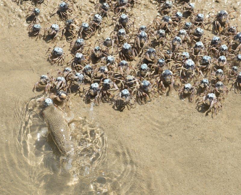 Granchi di soldato blu fotografie stock