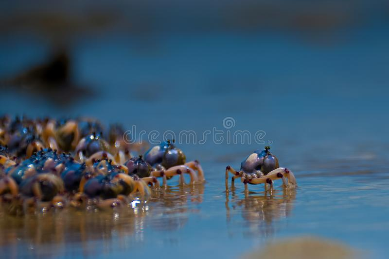 Granchi nuotatori alla spiaggia fotografia stock libera da diritti