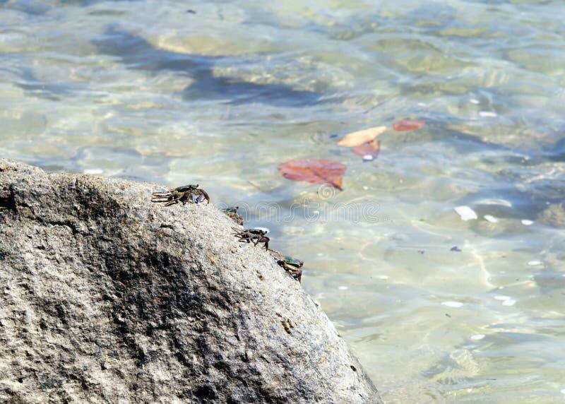 Granchi su una roccia sulla riva del mare delle Andamane fotografie stock libere da diritti