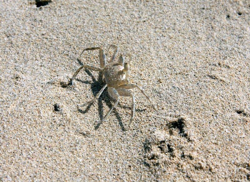 Granchi sulla spiaggia fotografia stock libera da diritti